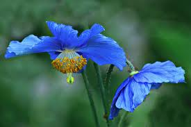 tibetan flower1